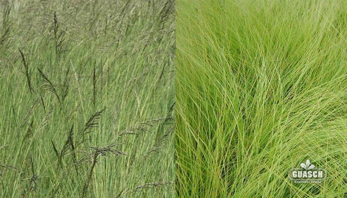 Guaschsemillas pasturas gramineas forrajeras pasto llor n for Zacate de invierno