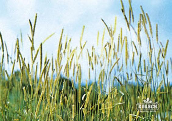 Guaschsemillas pasturas gramineas forrajeras timothy for Zacate de invierno