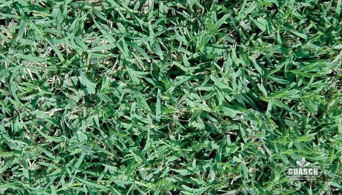 Guaschsemillas cesped cesped profesional bermuda grass for Zacate de invierno